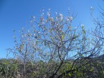 Erste Mandelblüten