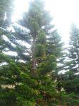 Araucea columnaris
