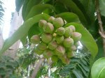 Duabanga grandiflora