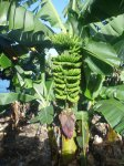 Bananenstaude mir Blüte