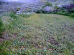 Wilde Ringelblumen