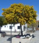 Üppiger Mimosenbaum