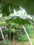 Mango-Bananen-Plantage
