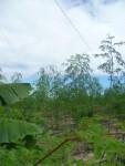 Moringa-Plantage