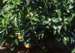 Orangen - Frucht und Blüte