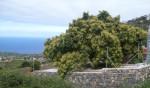 Blühender Avocadobaum