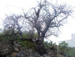 Mandelbaum mitten im Ort